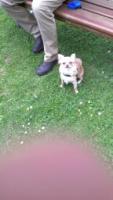 Foto 3 Mini Chihuahua