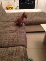 Foto 2 Mini Chihuahua Welpe ab sofort abzugeben