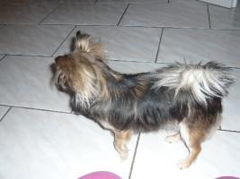 Foto 2 Mini Chihuahua  Langhaar Hündin