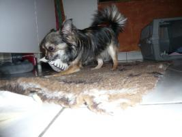 Foto 3 Mini Chihuahua  Langhaar Hündin