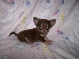 Mini Chihuahuas!!!