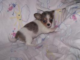Foto 2 Mini Chihuahuas!!!