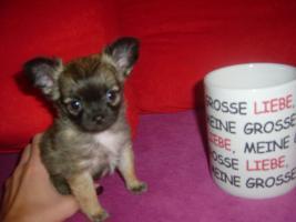 Mini Chihuahuawelpen zu verkaufen!!!!!!