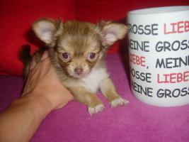 Foto 2 Mini Chihuahuawelpen zu verkaufen!!!!!!
