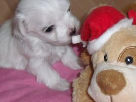 Foto 2 Mini Malteser Stammbaum Familienhund