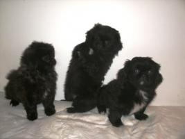 Foto 4 Mini Pekinesen Welpen-H�ndinen-(entwurmt, geimpft, gechipt)
