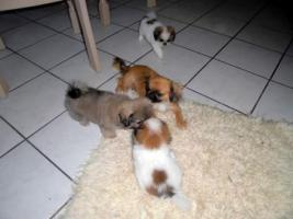 Foto 4 Mini Pekinesen Welpen (entwurmt, geimpft, gechipt)