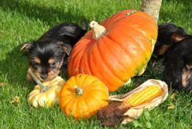 Mini Yorkshire Terrier Welpen aus O�