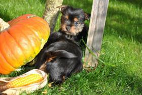 Foto 3 Mini Yorkshire Terrier Welpen aus O�