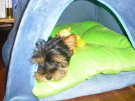 Foto 4 Mini Yorkshire Terrier Welpen aus O�