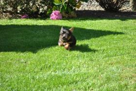 Foto 5 Mini Yorkshire Terrier Welpen aus O�