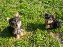 Mini Yorkshire Terrier welpen