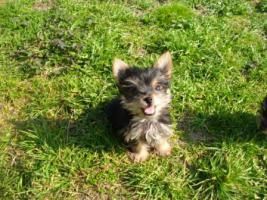 Foto 3 Mini Yorkshire Terrier welpen
