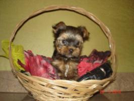 Mini Yorkshire terrier in gute Hände abzugeben