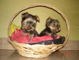 Foto 2 Mini Yorkshire terrier in gute Hände abzugeben