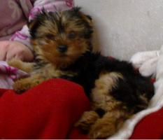 Mini Yorkshireterrier Welpe