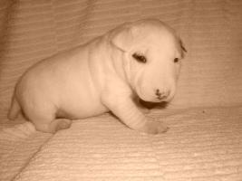 Foto 2 Miniatur Bullterrier