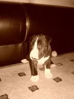 Foto 3 Miniatur Bullterrier