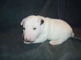 Foto 4 Miniatur Bullterrier