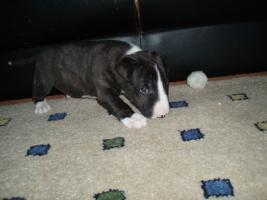 Foto 5 Miniatur Bullterrier