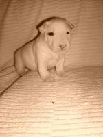 Foto 6 Miniatur Bullterrier