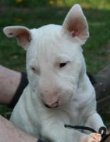 Foto 3 Miniatur Bullterrier Welpen