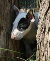 Foto 5 Miniatur Bullterrier Welpen