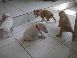 Foto 2 Miniaturbullterrier Welpen