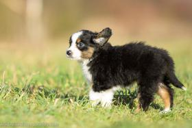 Miniature Australian Shepherd Welpen