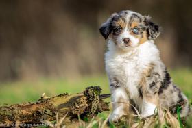 Foto 2 Miniature Australian Shepherd Welpen