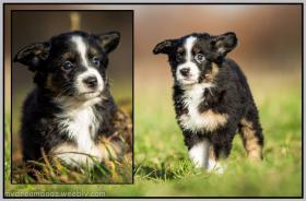 Foto 3 Miniature Australian Shepherd Welpen