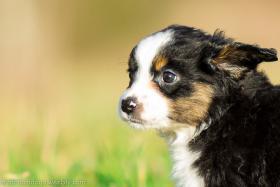 Foto 4 Miniature Australian Shepherd Welpen