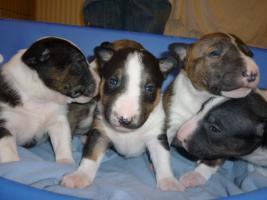 Foto 4 Miniature Bullterrier � Welpen PLL Clear