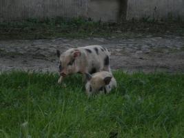 Foto 2 Minischweinchen noch 2 kleine süße günstig anzugeben