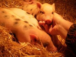 Foto 3 Minischweinchen noch 2 kleine süße günstig anzugeben
