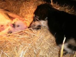 Foto 4 Minischweinchen noch 2 kleine süße günstig anzugeben