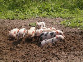Foto 5 Minischweinchen noch 2 kleine süße günstig anzugeben