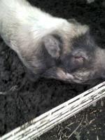 Foto 2 Minischweine in gute Hände abzugeben