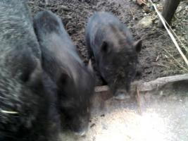Foto 5 Minischweine in gute Hände abzugeben