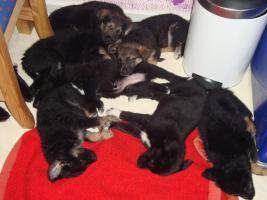 Mischlingswelpen 7 Wochen alt zu verkaufen, 250€ je Hund