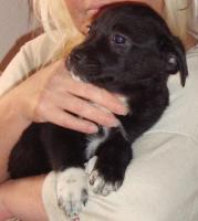 Foto 2 Mischlingswelpen 7 Wochen alt zu verkaufen, 250€ je Hund
