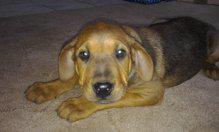 Mischlingswelpen Rottweiler / Brasilianische Dogge