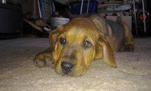 Foto 2 Mischlingswelpen Rottweiler / Brasilianische Dogge