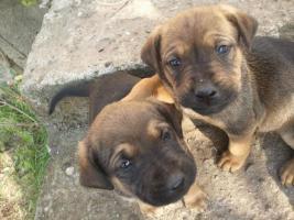 Foto 3 Mischlingswelpen Rottweiler / Brasilianische Dogge