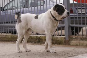 Foto 5 Mittelasiatische Schäferhund