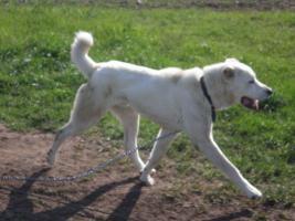 Foto 5 Mittelasiatischer Schäferhund wunderschöne Welpen