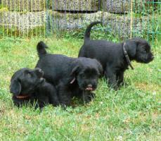 Foto 3 Mittelschnauzerwelpen schwarz (Rüden)