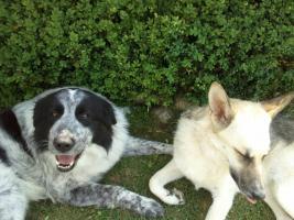 Foto 3 Mobiles Hundetraining bei Ihnen zuhause !!