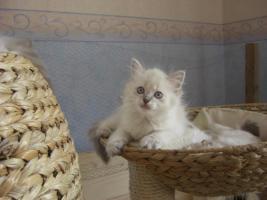 Foto 4 Mona, Maxi und Josy, Ragdoll Katzen - 12 Wochen