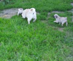 Foto 4 Mops Welpen Pinky (w) und Paul (m)